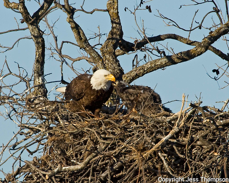 Adult bald eagle feeds eaglet in nest near Llano, TX.  Spring 2008