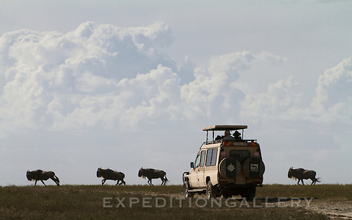 Wildebeest, silhouetted against sky and cumulus clouds, running past tourists in a safari vehicle on the Serengeti plains, Tanzania. [NO MODEL RELEASE]