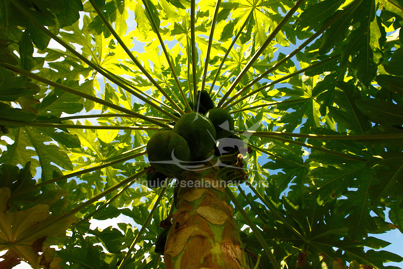 Papaya tree with fruits at Panasia Island.Panasia is a spectacular island of uplifted coral reef making jagged limestone cliffs in  the Louisiade Archipelago..The Louisiade Archipelago is a string of ten larger volcanic islands frequently fringed by coral reefs, and 90 smaller coral islands located 200 km southeast of New Guinea, stretching over more than 160 km and spread over an ocean area of 26,000 km  between the Solomon Sea to the north and the Coral Sea to the south. The aggregate land area of the islands is about 1,790 kmu178  (690 square miles), with Vanatinai (formerly Sudest or Tagula as named by European claimants on Western maps) being the largest..Sideia Island and Basilaki Island lie closest to New Guinea, while Misima, Vanatinai, and Rossel islands lie further east..The archipelago is divided into the Local Level Government (LLG) areas Louisiade Rural (western part, with Misima), and Yaleyamba (western part, with Rossell and Tagula islands. The LLG areas are part of Samarai-Murua District district of Milne Bay. The seat of the Louisiade Rural LLG is Bwagaoia on Misima Island, the population center of the archipelago. .The Louisiade Archipalego is part of the Milne Bay province of Papua New Guinea..It lies between approximately 10 degrees south and 11.5 degrees south, and 151 degrees east and 154 degrees east. It is an area of Islands, reefs and cays some 200 nm long and 50 nm wide, stretching from the south east tip of mainland Papua New Guinea in a east south east direction..Panasia Island.Panasia is a spectacular island of uplifted coral reef making jagged limestone cliffs in the  Louisiade Archipelago..The Louisiade Archipelago is a string of ten larger volcanic islands frequently fringed by coral reefs, and 90 smaller coral islands located 200 km southeast of New Guinea, stretching over more than 160 km and spread over an ocean area of 26,000 km  between the Solomon Sea to the north and the Coral Sea to the south. The aggregate land area of the is