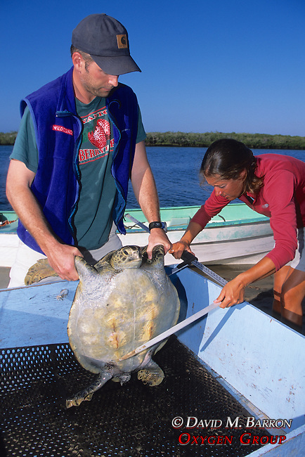 J. Nichols & Louise Brooks Measuring Black Sea Turtle
