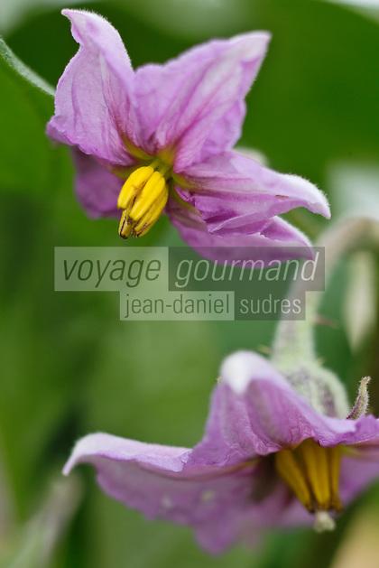 Europe/France/Aquitaine/47/Lot-et-Garonne/Fongrave: Fleur d'aubergine chez Elodie Chauvel, agricultrive en agriculture raisonnée à la Ferme des Tuileries