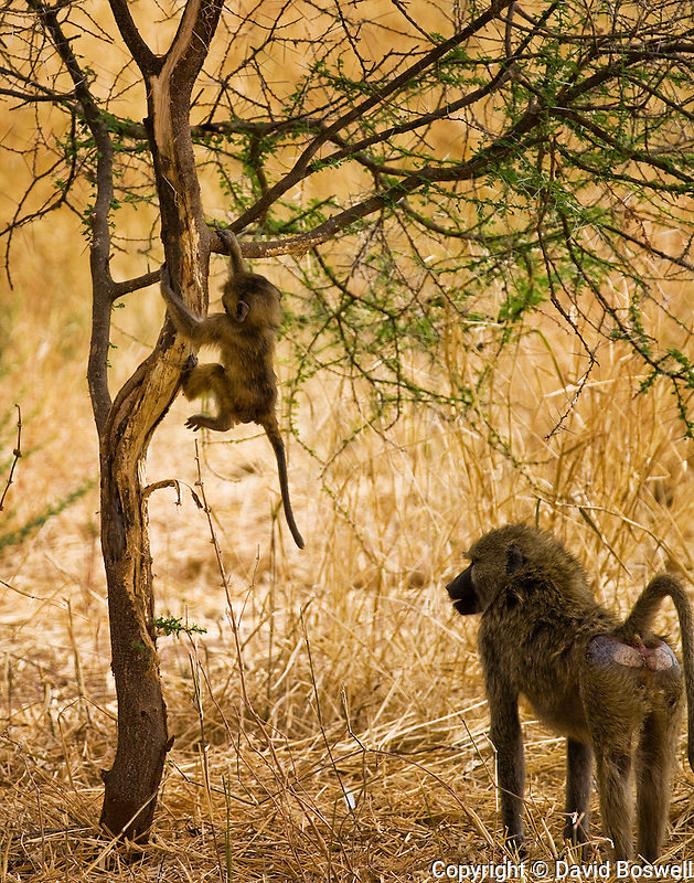 An adult and juvenile olive baboon, photographed at Tarangire National Park in northen Tanzania