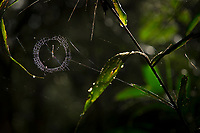 Nature photograph with close-up of spider web hanging from plants, Indio Maiz Biological Reserve, Nicaragua