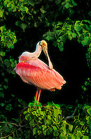 579008501 a wild roseate spoonbill ajia ajia perches in a tree whille preening along the texas gulf coast