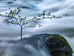 USA, California, Yosemite National Park, Pacific dogwood in Merced River during spring flood