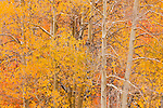 Aspen at peak color. Inyo National Forest. Inyo County, CA.