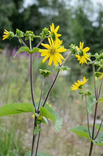 Silphium perfoliatum var. connatum red stemmed