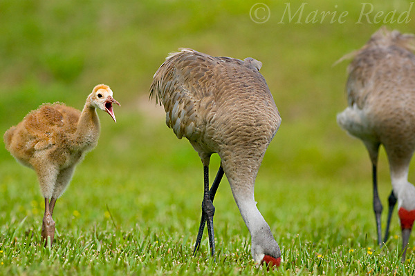 Greater Sandhill Cranes (Grus canadensis) (Florida race), two adults and chick (yawning), Kissimmee, Florida, USA