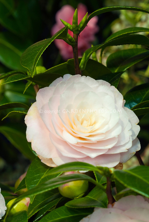 Camellia japonica 'Elizabeth Acree'