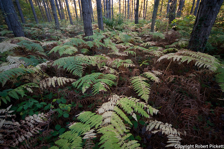 Broad Buckler Fern, Dryopteris dilitata, Thornden Woodlands, Kent, UK, in autumn