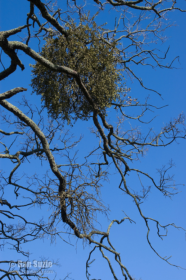 Greenleaf mistletoe, Phoradendron leucarpum tomentosum, on branches of deciduous oak, Quercus sp. Mount Diablo State Park, California