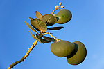 Branch with fruits of the rubberbush (Calotropis procera) against clear blue sky in the  Sahara desert, Chagaga, Morocco.