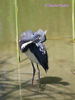 0830-0913  Tricolored Heron Wading in Marsh, Preening (Grooming) Feathers, Louisiana Heron, Egretta tricolor © David Kuhn/Dwight Kuhn Photography