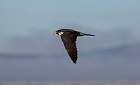 Falcon -  Peregrine