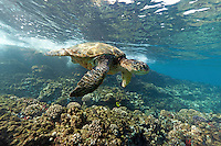 Close encounter with a green sea turtle at Makena, Maui.