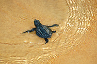 Olive ridley turtle hatchling, Lepidochelys olivacea, Costa do Sauipe, Bahia, Brazil South Atlantic