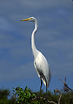 great egret standing in mangrove