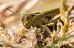 Common green Grasshopper, photographed in the Burren, Co. Clare, Ireland, using a Canon 20D and 50mm macro lens