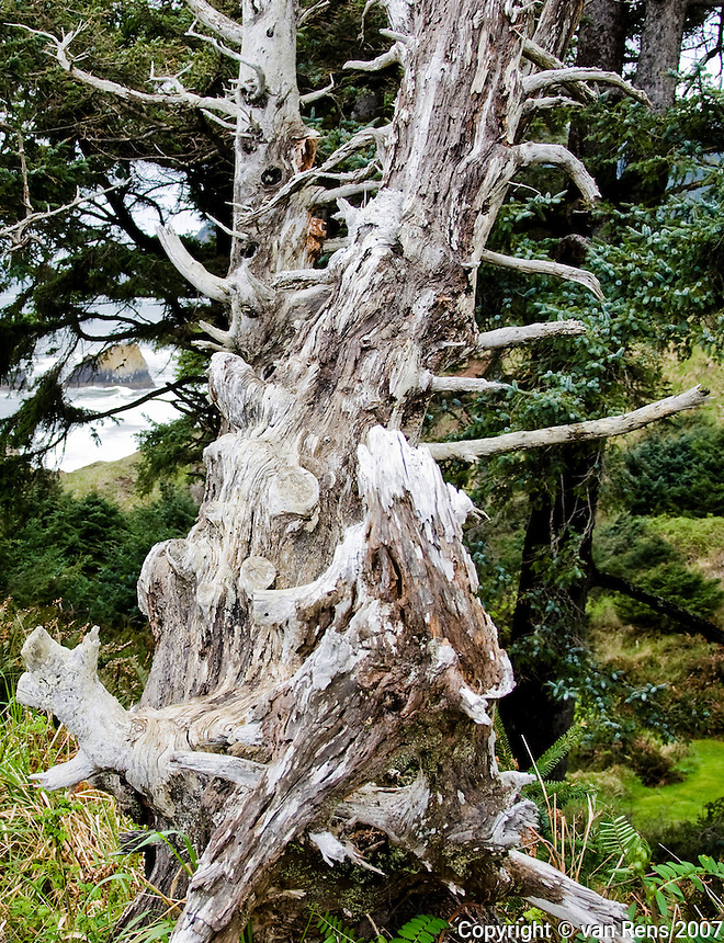 Weather old tree on the bluff overlooking the Pacific Ocean at Ecola State Park.