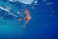 feces of fin whale, finback whale, razorback, or common rorqual, Balaenoptera physalus, are red orange due to diet of krill, Pelagos Sanctuary for Mediterranean Marine Mammals, Ligurian Sea, Mediterranean Sea, Italy