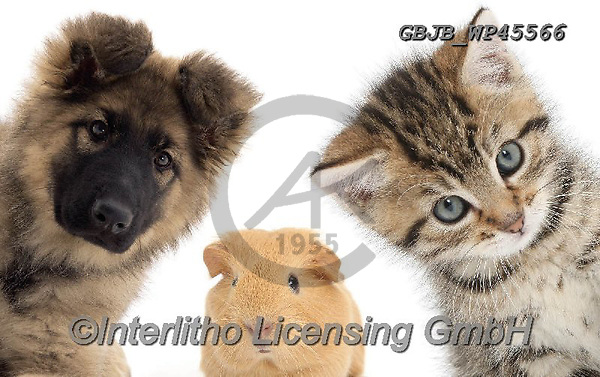 Kim, ANIMALS, REALISTISCHE TIERE, ANIMALES REALISTICOS, fondless, photos,+Alsatian puppy, baby Guinea pig, and tabby kitten.,Guinea pig, alsatian, puppy, baby, and, tabby, kitten, animals, cats, pets+, dogs, kittens, portraits, head, alsatians, gsds, puppies, pups, guineas, guineapigs+++,GBJBWP45566,#a#, EVERYDAY