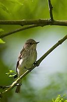 Grauschnäpper, Grau-Schnäpper, Muscicapa striata, Spotted Flycatcher, Gobemouche gris