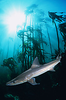 common smooth-hound, smoothhound, smooth hound or smooth dogfish shark, Mustelus mustelus (c, dm) in forest of bull kelp, Ecklonia maxima (dc) False Bay, Cape of Good Hope, South Africa