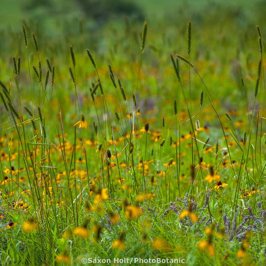 Elymus virginicus, Virginia wildrye flowering in Tallgrass Prairie Preserve with Ratibida columnifera Mexican Hat, Oklahoma