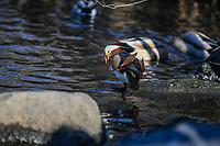 NOVA YORK,EUA, 19.12.2018 - PATO-MANDARIN - O pato mandarim macho, nativo da Ásia Oriental é visto no Central Park nesta quarta-feira, 19. No dia 10 de outubro, o pato foi visto pela primeira vez perto da Lagoa no Central Park e um vídeo foi compartilhado nas redes sociais. Os ávidos observadores de pássaros da cidade ficaram surpresos: esses patos são comumente encontrados na China e no Japão - não nos Estados Unidos e hoje ele virou atrativo de todos que passam pelo local. (Foto: William Volcov/Brazil Photo Press)