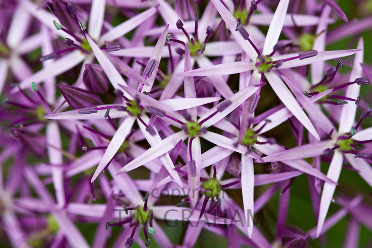 Allium Flower in The Cotswolds, UK