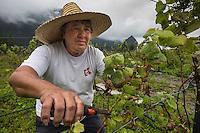 France, île de la Réunion, Parc national de La Réunion, classé Patrimoine Mondial de l'UNESCO, Cirque de CIlaos, Cilaos, Narcisse Grondin , viticulteur dans ses vignes  le Cilaos est un vin de pays,  vin de montagne produit dans le cirque de Cilaos, à la Réunion. C'est l'un des seuls vins français produits dans l'hémisphère sud. Il bénéficie d'une IGP.//  France, Reunion island (French overseas department), Parc National de La Reunion (Reunion National Park), listed as World Heritage by UNESCO, cirque of Cilaos,  Cilaos, Narcisse Grondin , winegrower in his vineyard, the Cilaos is a wine country, mountain wine produced in Cilaos, Reunion. This is one of the only French wines produced in the southern hemisphere. It enjoys an IGP.<br /> <br /> Auto n°: 2014-102