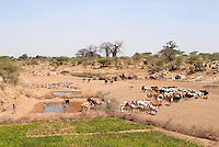 TANZANIA Meatu, cattle in dry river bed in search for water / TANSANIA Meatu, Viehherde im trocknen Flussbett auf Suche nach Wasser
