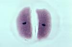Meiosis II: Metaphase II in Corn (Zea mays). LM