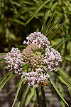 ASCLEPIAS INCARNATA, SWAMP MILKWEED AND HONEY BEE