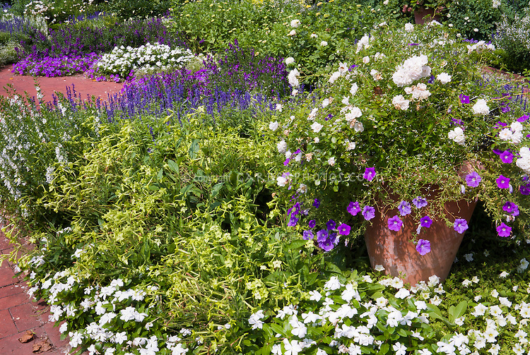 Mostly Annual flower fragrance garden and brick path with Catharanthus roseus 'Victory Pure White, Madagascar periwinkle vinca, annual flowers, Nicotiana Lime Green, zinnias, Petunia Surfinia Sky Blue, Petunia Surfinia Lime, Salvia farinacea, roses 'The Fairy' in pot container garden, for great scent