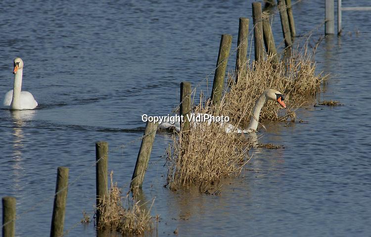 Foto: VidiPhoto..RANDWIJK - Zwanen fourageren in de ondergelopen uiterwaarden van de Rijn bij Randwijk. Nu het water in snel tempo zakt, wordt het een stuk lastiger om een route zonder hindernissen te vinden.