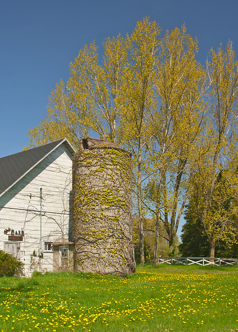 A barn and silo sit in spring surrounded by a lawn dotted with dandelions