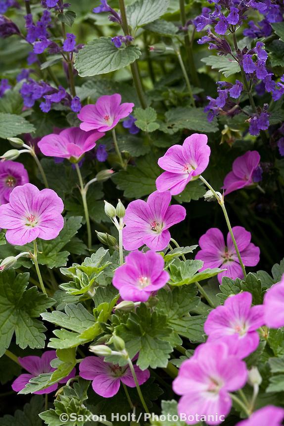 Pink flowering perennial Geranium 'Mavis Simpson' in California garden with blue catmint