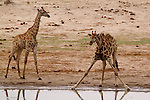 Giraffes pause at a watering hole.<br /> <br /> Hwange National Park, Zimbabwe