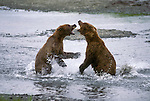 Two Alaskan brown bears fight over fishing rights at McNeil River.