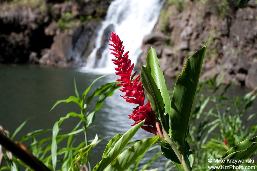 Red Ginger at Waimea Falls, Oahu
