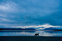 Brown bears walk along the shores of Naknek lake in predawn light, Katmai National Park, southwest, Alaska.