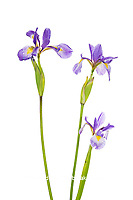 30099-00413 Blue Flag Irises (Iris versicolor) (high key white background) Marion Co. IL
