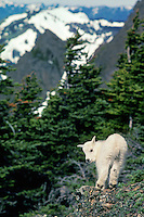 Young Mountain Goat kid surveys his mountainous home.  Western U.S., June.