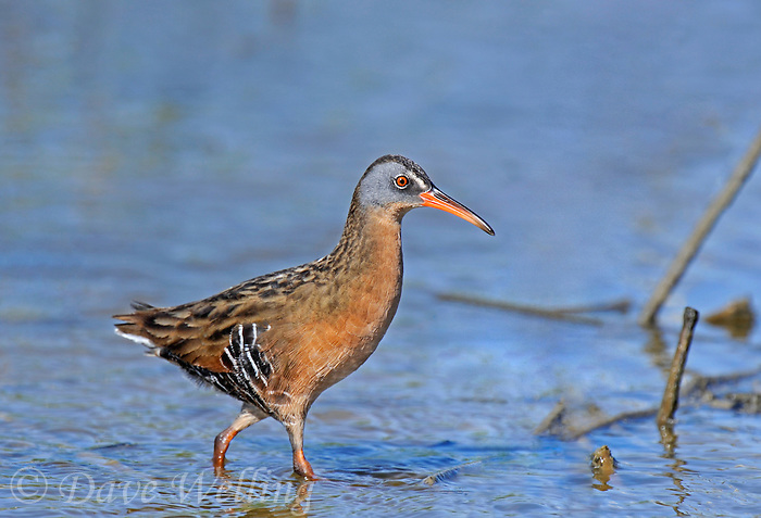 575100001 a wild adult virginia rail railus limicola forages in a shallow pond near the pacific ocean in ventura county california united states