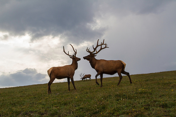 Elk along Trail Ridge Road, Rocky Mountain national Park, Colorado.