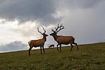 Elk along Trail Ridge Road, Rocky Mountain national Park, Colorado.