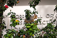 A squirrel eats a flower near Norris Hall of Chemistry, Jan. 31, 2014. (Photo by Marc Campos, Occidental College Photographer)