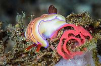 sea slug or nudibranch, Hypselodoris emma laying eggs, Lembeh Strait, North Sulawesi, Indonesia, Pacific