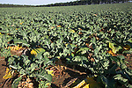 Field of cauliflowers in East Anglia, Butley, Suffolk, England